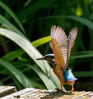 Rangdrolling Netherlands KingfisherBird