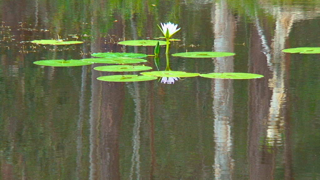 Waterlilies in the dam